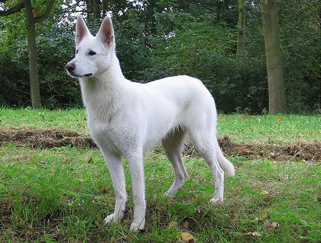 Berger Blanc Suisse Dog: Berger Zwitsersewitteherderbayosadie Breed