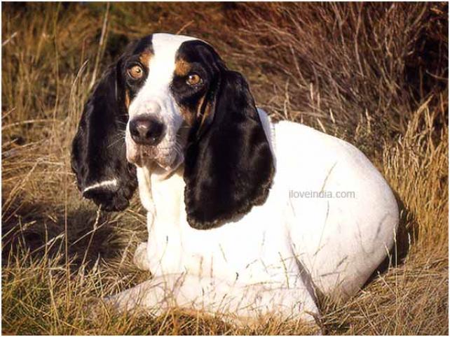Berner Laufhund Puppies: Berner Berner Laufhund Dog Breed
