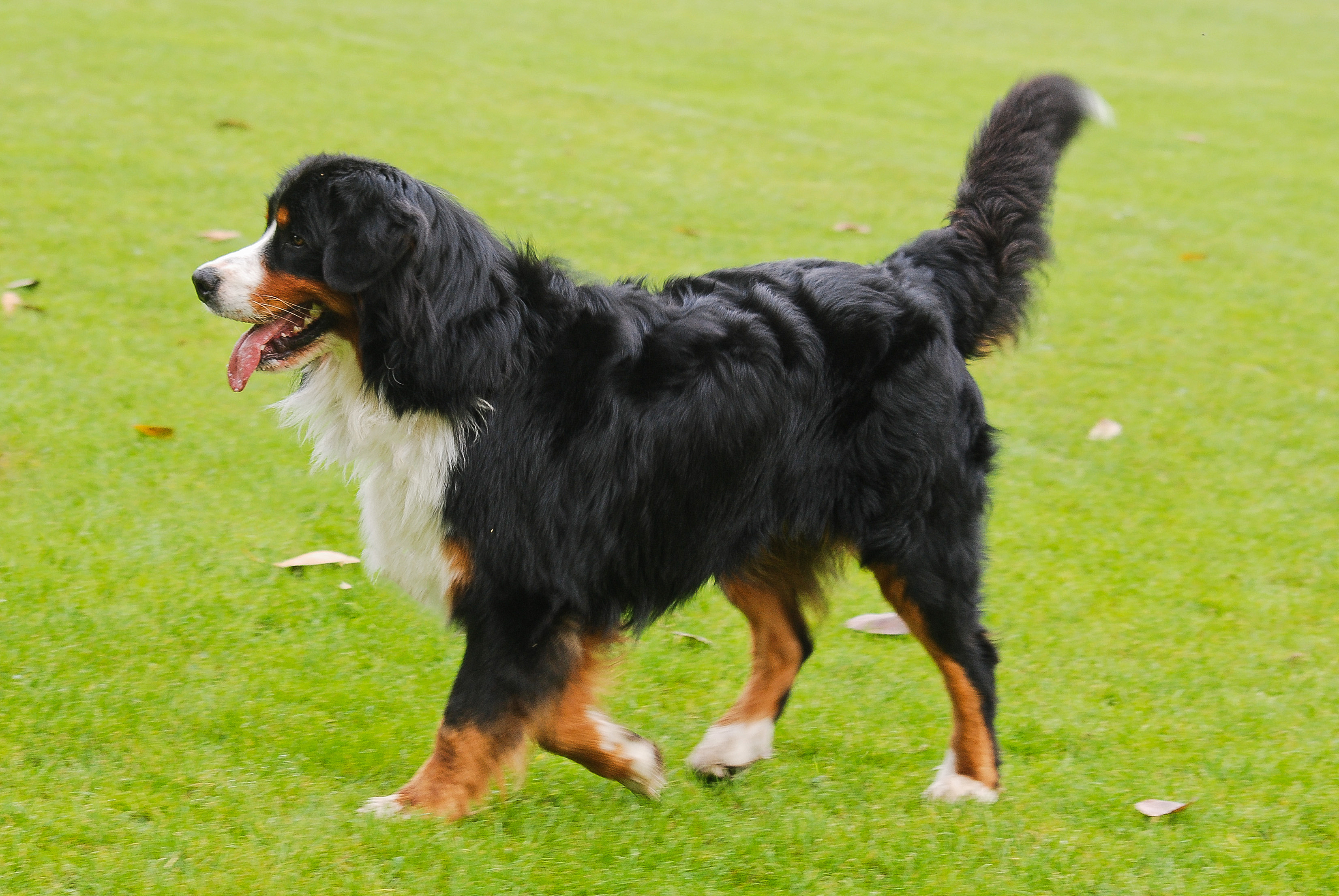 Bernese Mountain Dog: Bernese Bernese Mountain Dog Pictures Breed