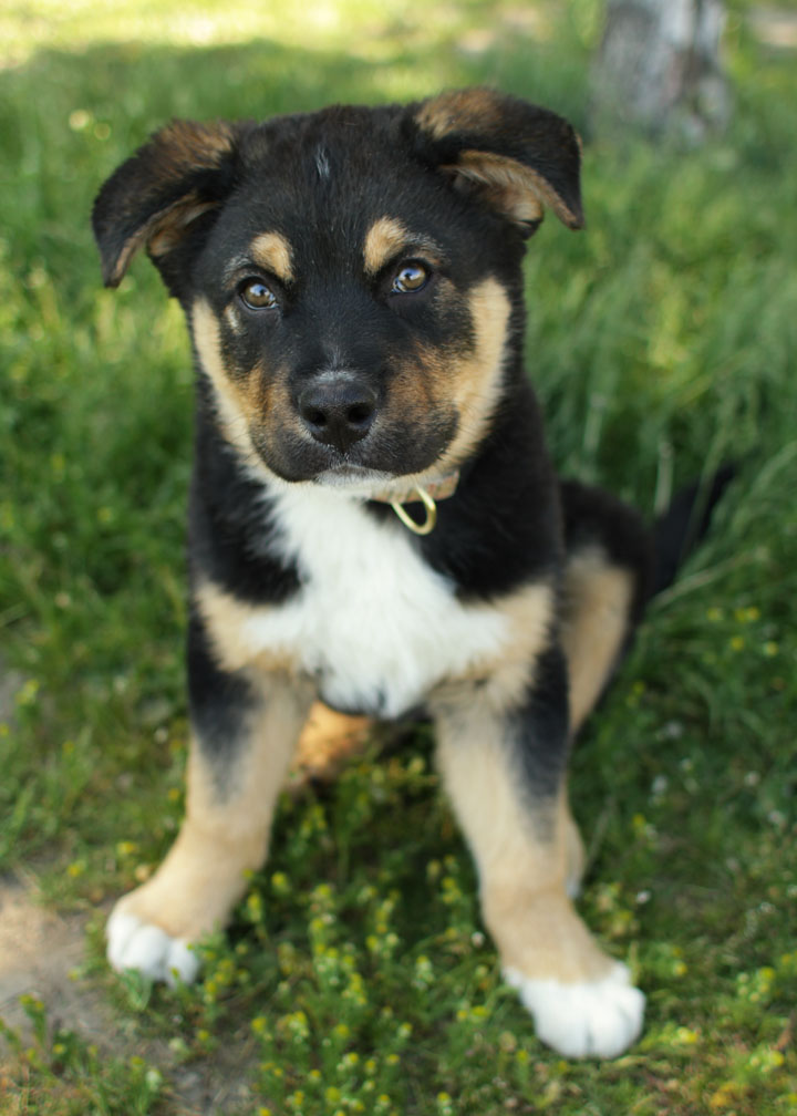 Bernese Mountain Dog: Bernese Grizzly Bernese Mountain Dog Mix Puppy Breed