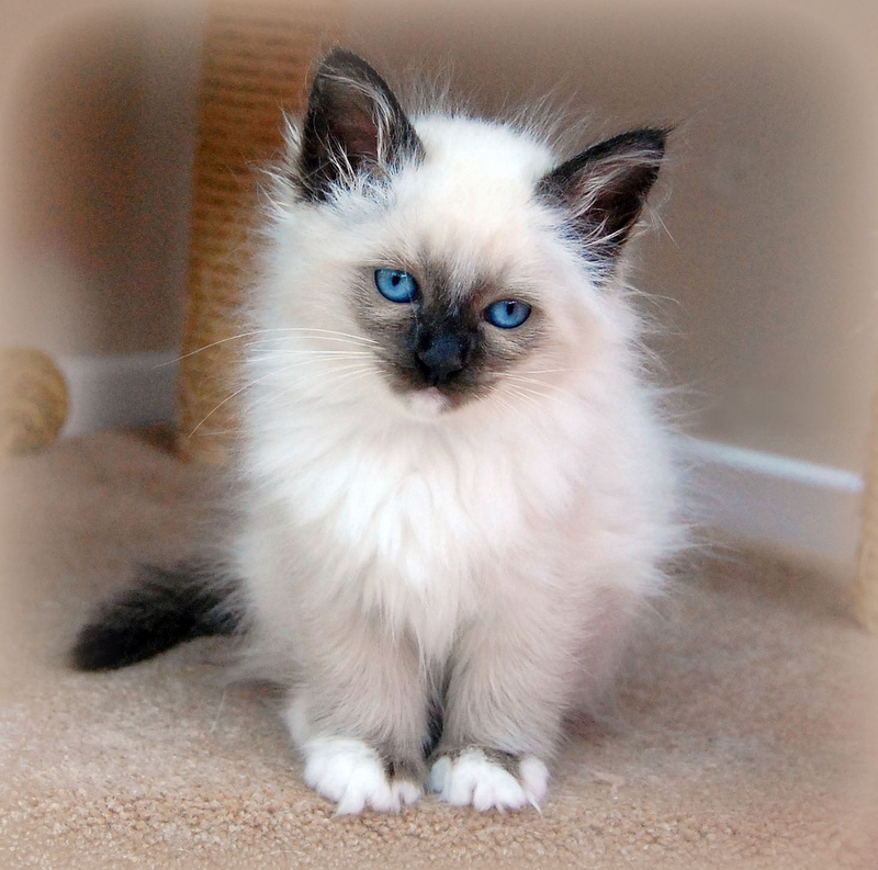 Birman Kitten: Birman Birman Cat Breed