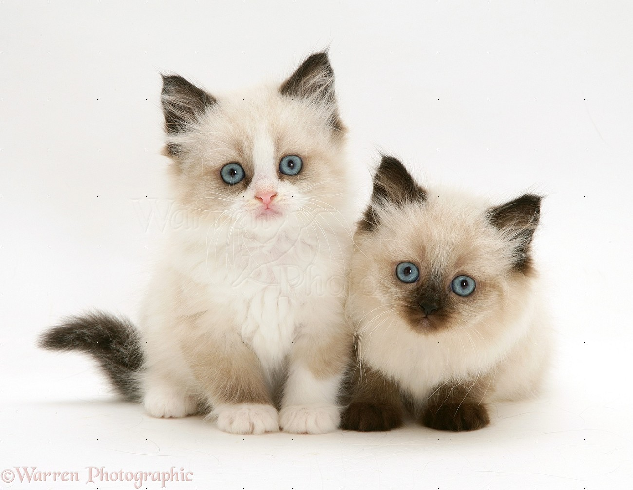 Birman Kitten: Birman Birman Cross Kittens Breed