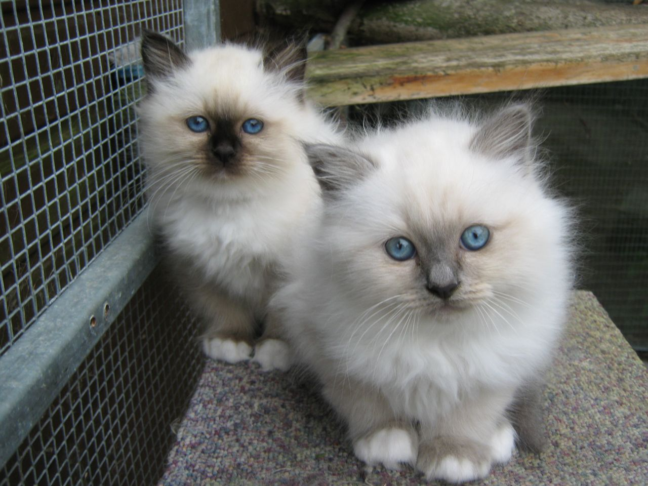 Birman Kitten: Birman Birman Kitten Breed