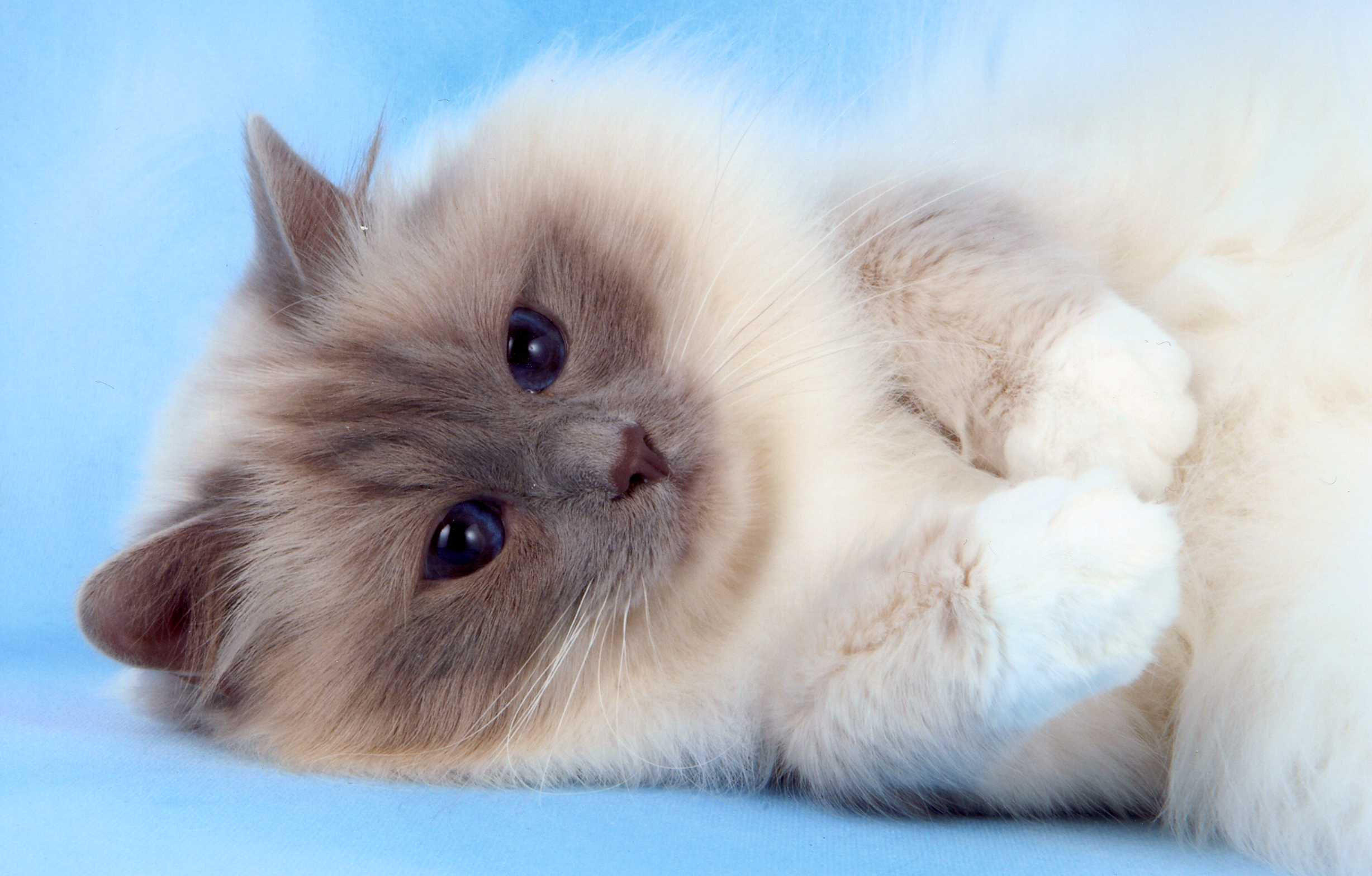Birman Kitten: Birman Breed
