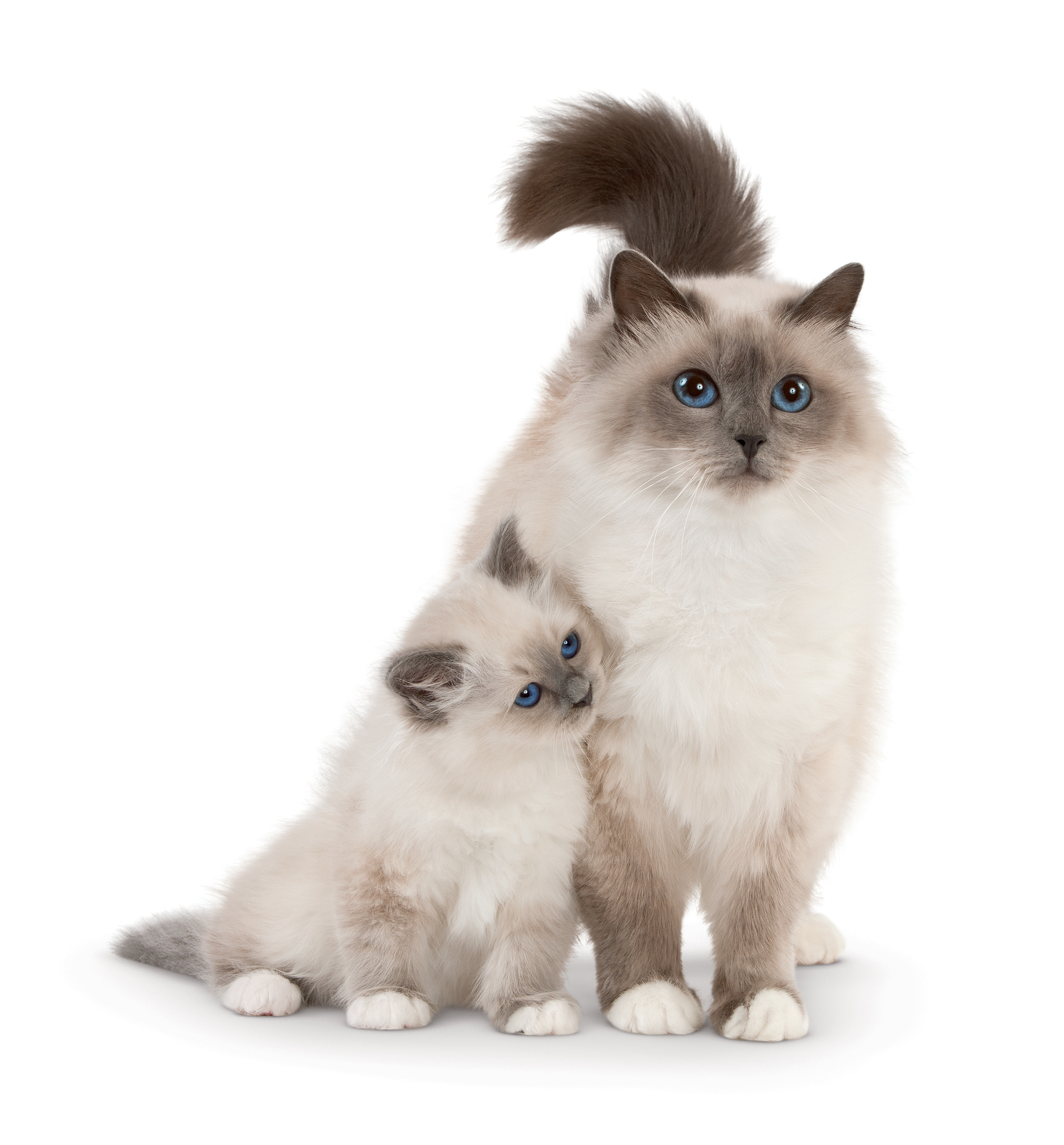 Birman Cat: Birman Sacred Birman Breed