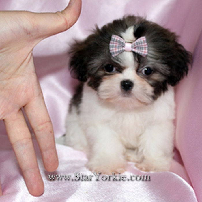 Shih Tzu Puppies: Black And White Shih Tzu Puppies Breed