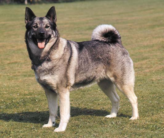 Black Norwegian Elkhound Puppies: Black Breeds Of Small Dogs With Curly Tails