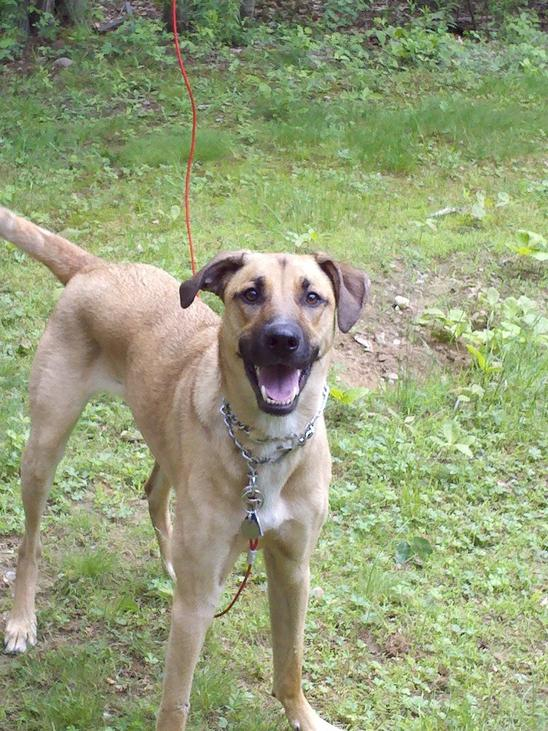 Stephens Cur Puppies: Black Mountain Cur Dog Breed