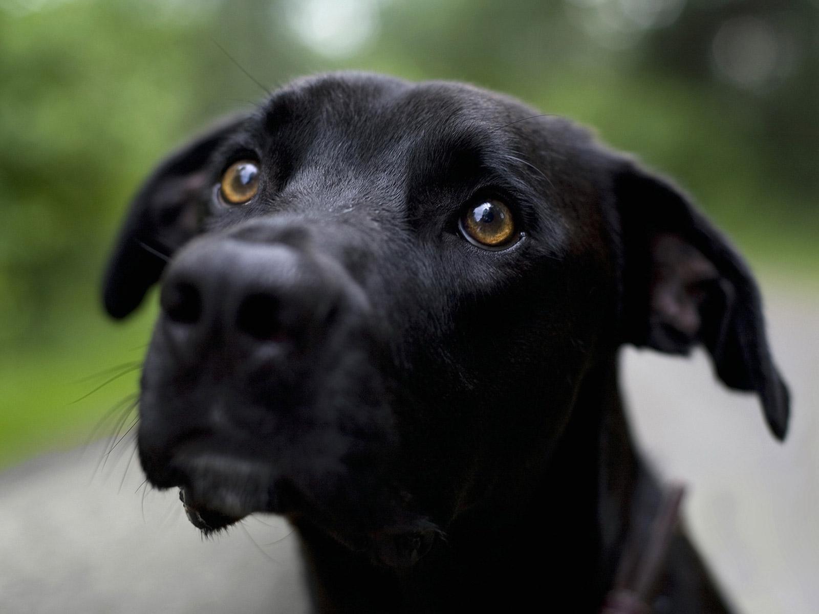 Plott Hound Puppies: Black Plott Hound Dog Breed