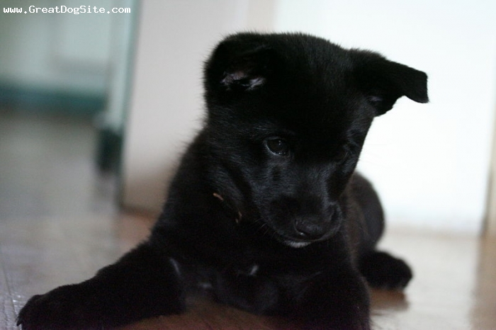 Black Norwegian Elkhound Puppies: Black Question Breed
