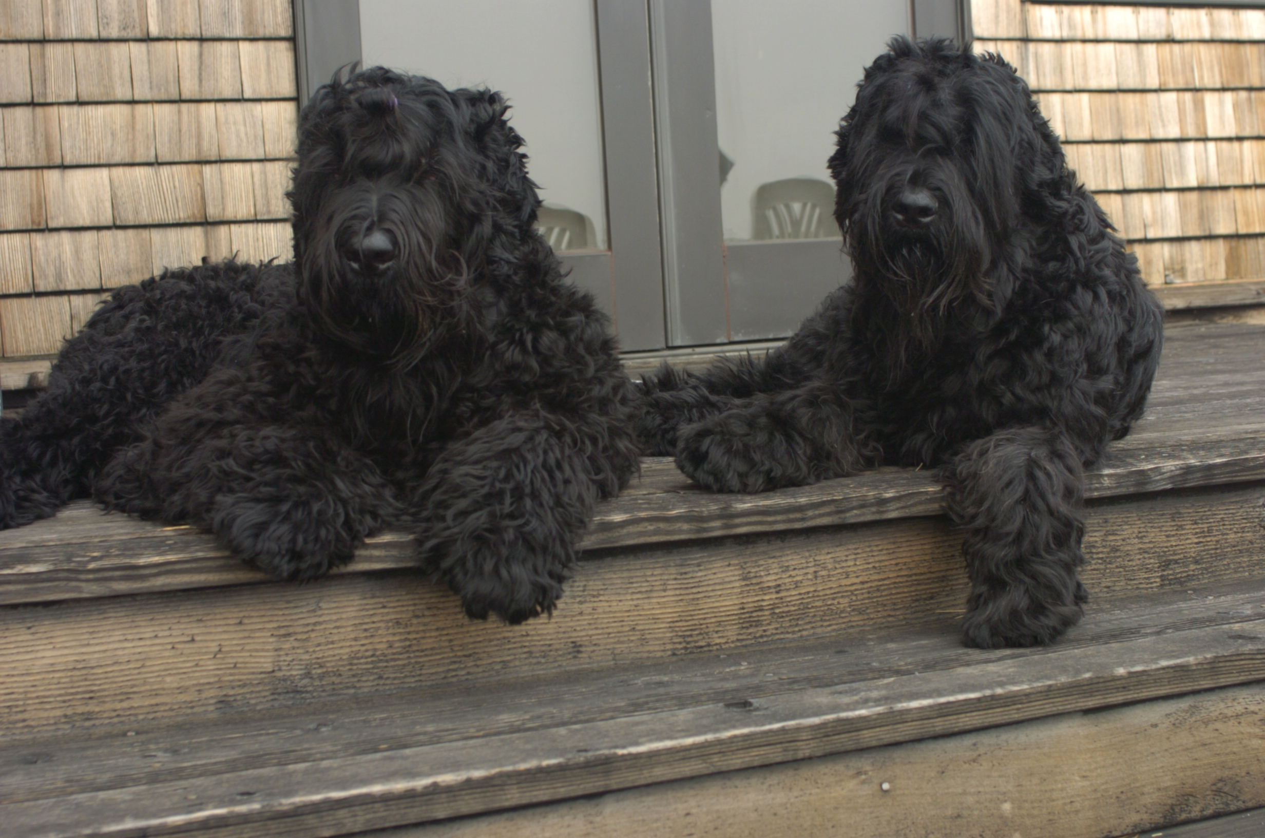 Black Russian Terrier Dog: Black Russian Terrier Porch Picture Breed