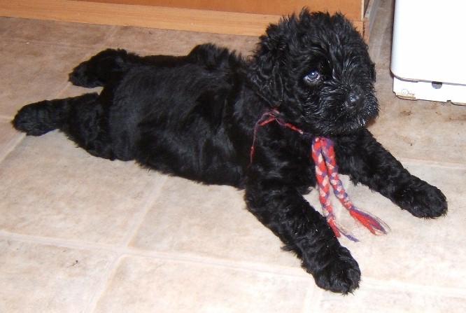 Black Russian Terrier Puppies: Black Russian Terrier Puppies Breed