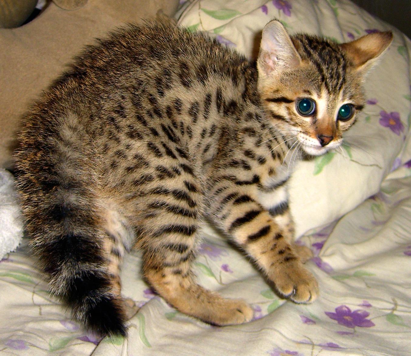 Savannah Cat: Black Savannah Cat Breed