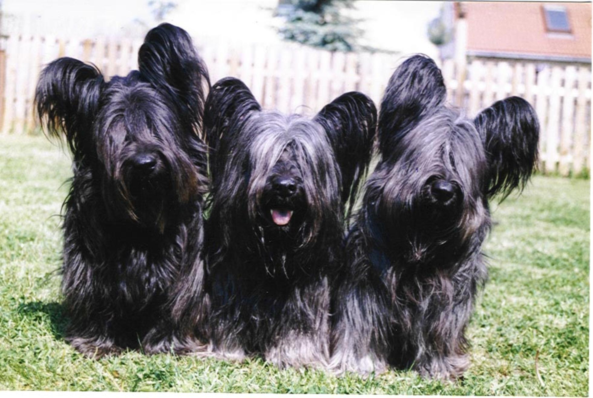 Skye Terrier Dog: Black Skye Terrier Dogs Breed
