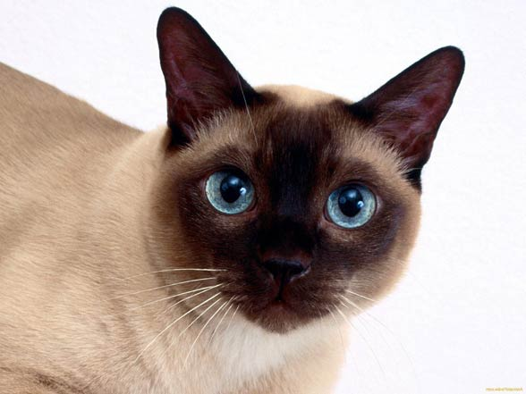 Tonkinese Cat: Black Tonkinese Cat Breed