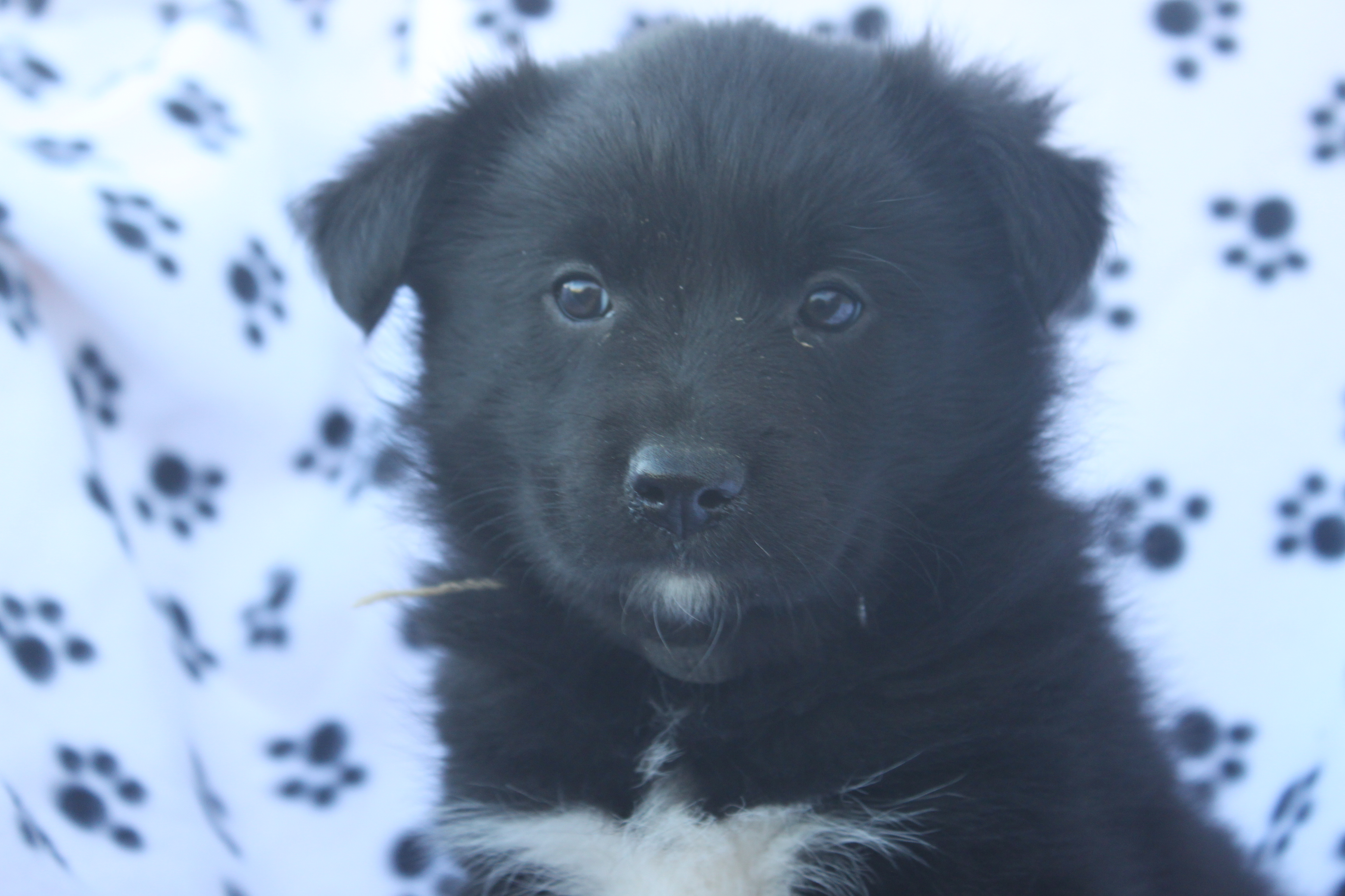 Black Norwegian Elkhound Puppies - Puppy Dog Gallery