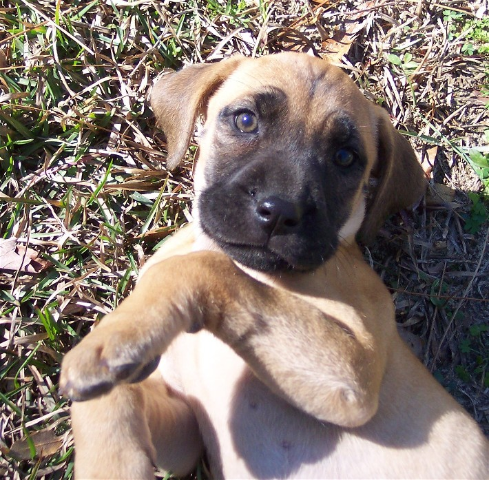 Blackmouth Cur Dog: Blackmouth Cur Breed