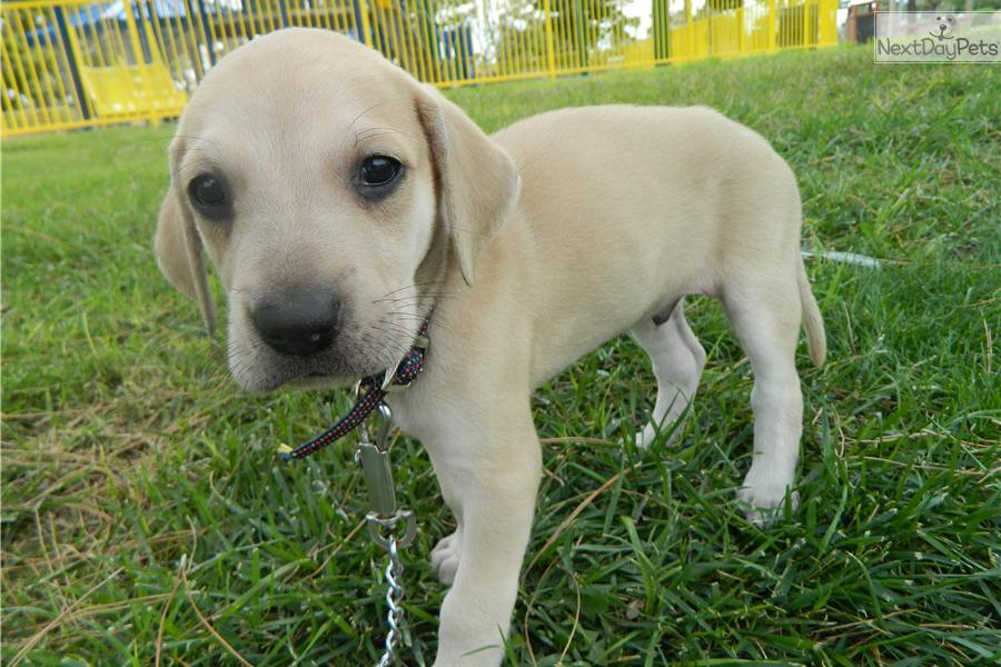 Blackmouth Cur Puppies: Blackmouth I Sda Breed