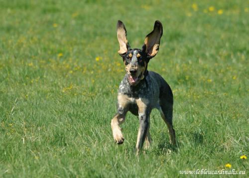 Bleu de Gascogne, Petit Puppies: Bleu French Scenthound Breed