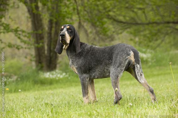 Bleu de Gascogne, Petit Puppies: Bleu Hortaya Borzaya Wikipedia The Free Encyclopedia Breed