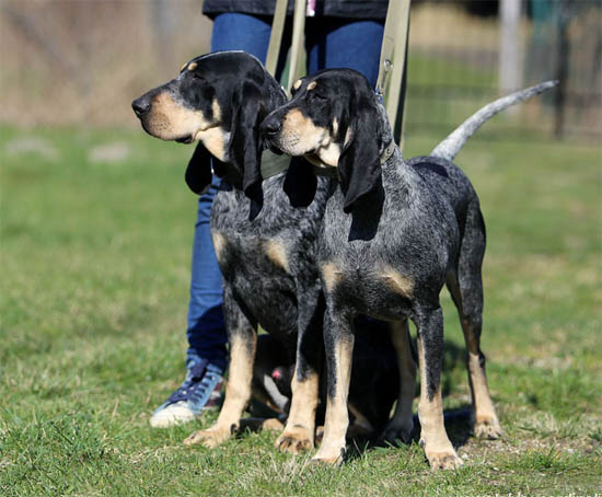 Bleu de Gascogne, Petit Puppies: Bleu Index Angielski Breed