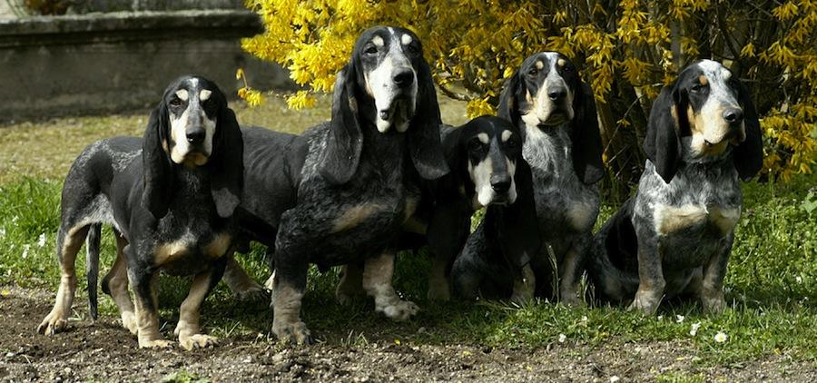 Bleu de Gascogne, Petit Dog: Bleu Know About The Petit Bleu De Gascogne Breed