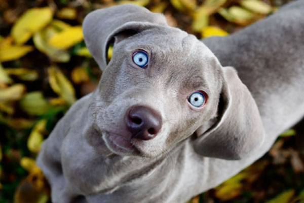 Blue Lacy Puppies: Blue Blue Lacy Breed
