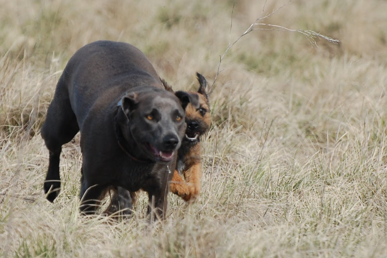 Blue Lacy Dog: Blue Blue Lacy Running With Friend Breed