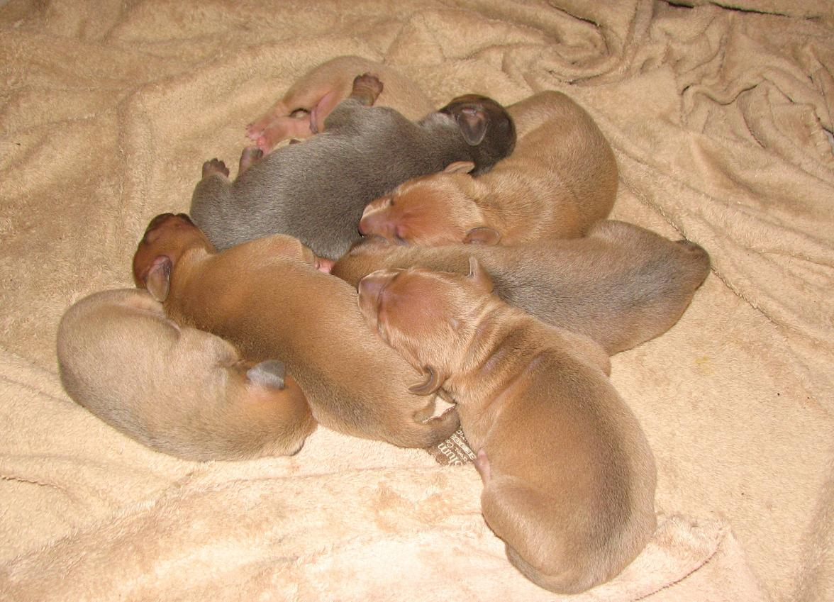 Blue Lacy Dog: Blue Dogs With Their Puppies Breed