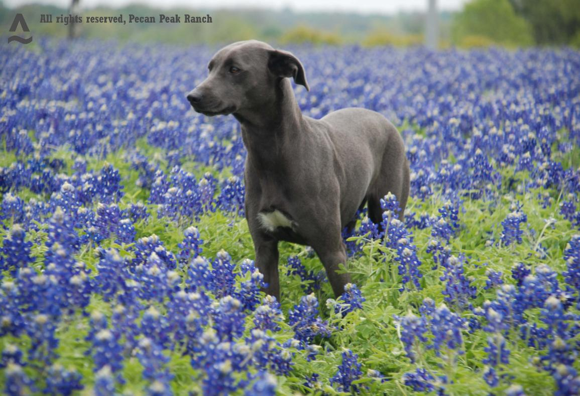 Blue Lacy Dog: Blue Dogscolors Breed