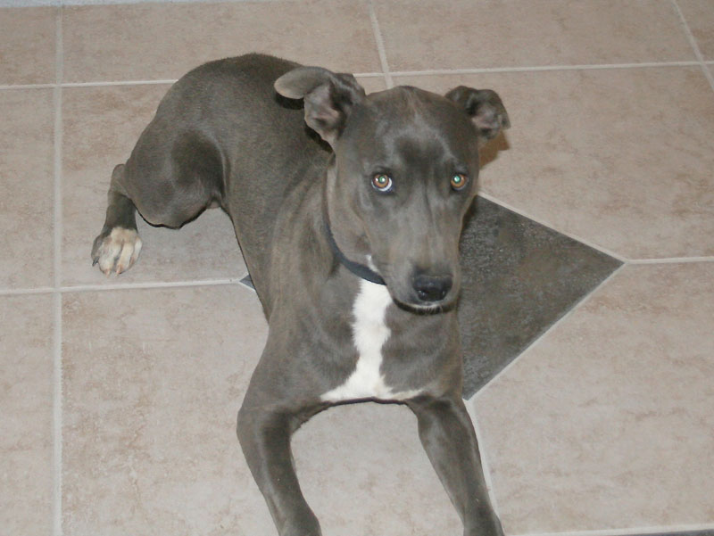 Blue Lacy Dog: Blue Hunting Breed