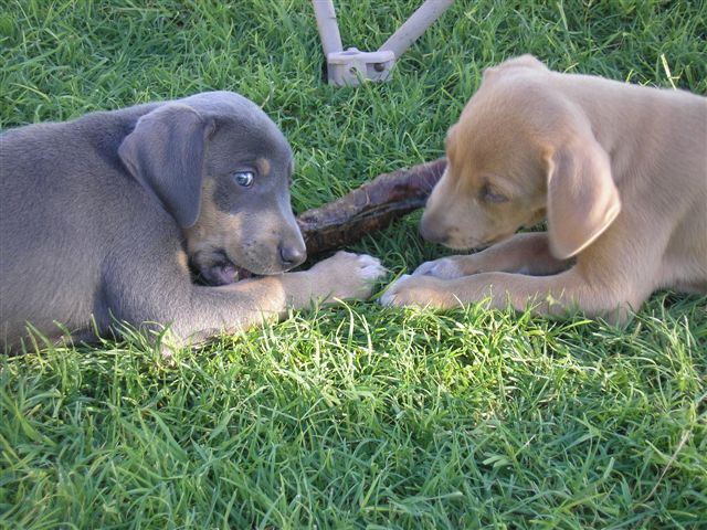 Blue Lacy Puppies: Blue Puppies Breed