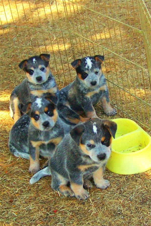 Blue Heeler Puppies: Blue Pups Breed