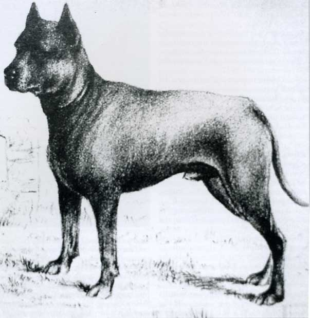Blue Paul Terrier Dog: Blue Ti Presento Lamerican Pit Bull Terrier Breed