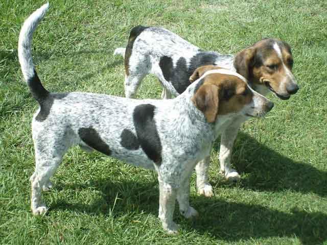 Bluetick Coonhound Dog: Bluetick Breed