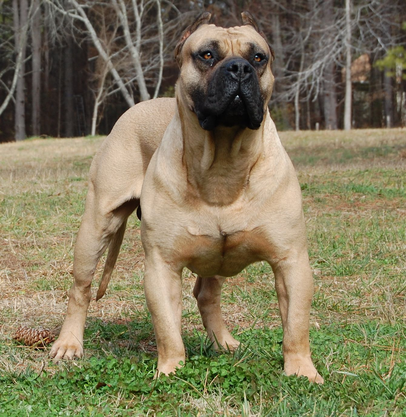 Boerboel Dog: Boerboel Boerboel Breed