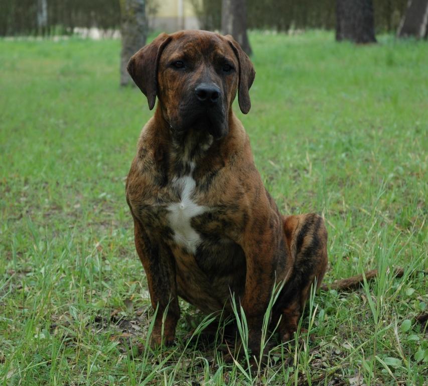 Boerboel Dog: Boerboel Boerboel Dogs Iams Dog Breed Guide