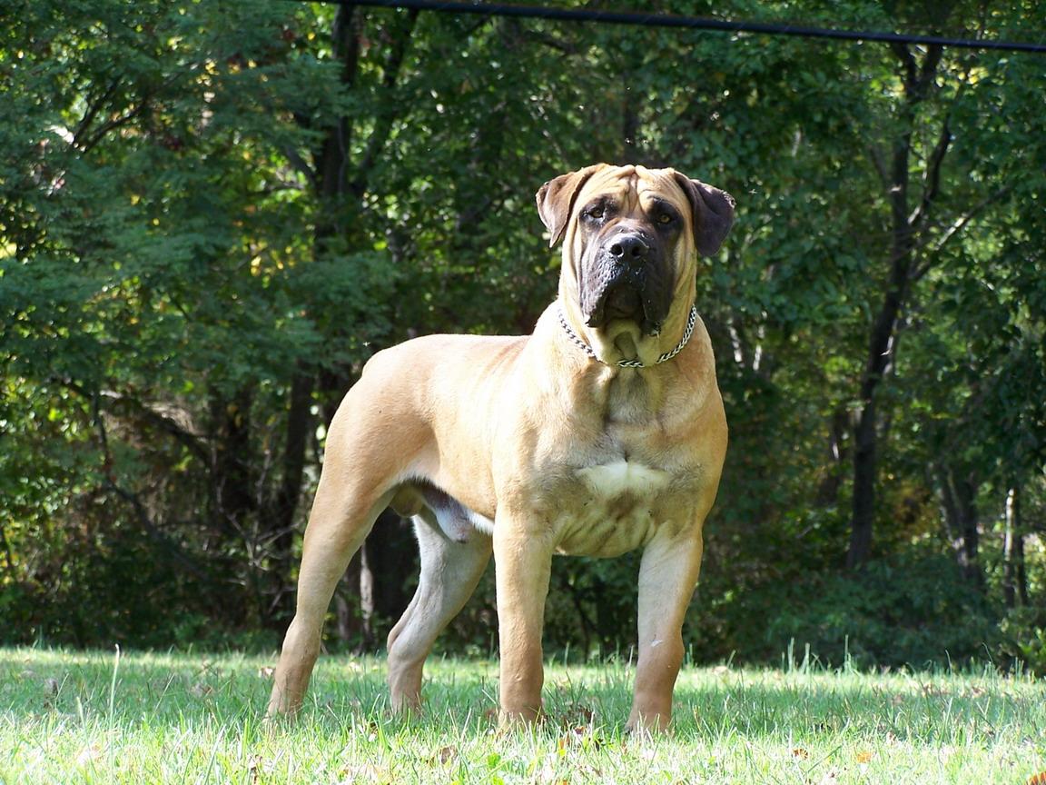 Boerboel Dog: Boerboel Boerboel Dogs S Breed