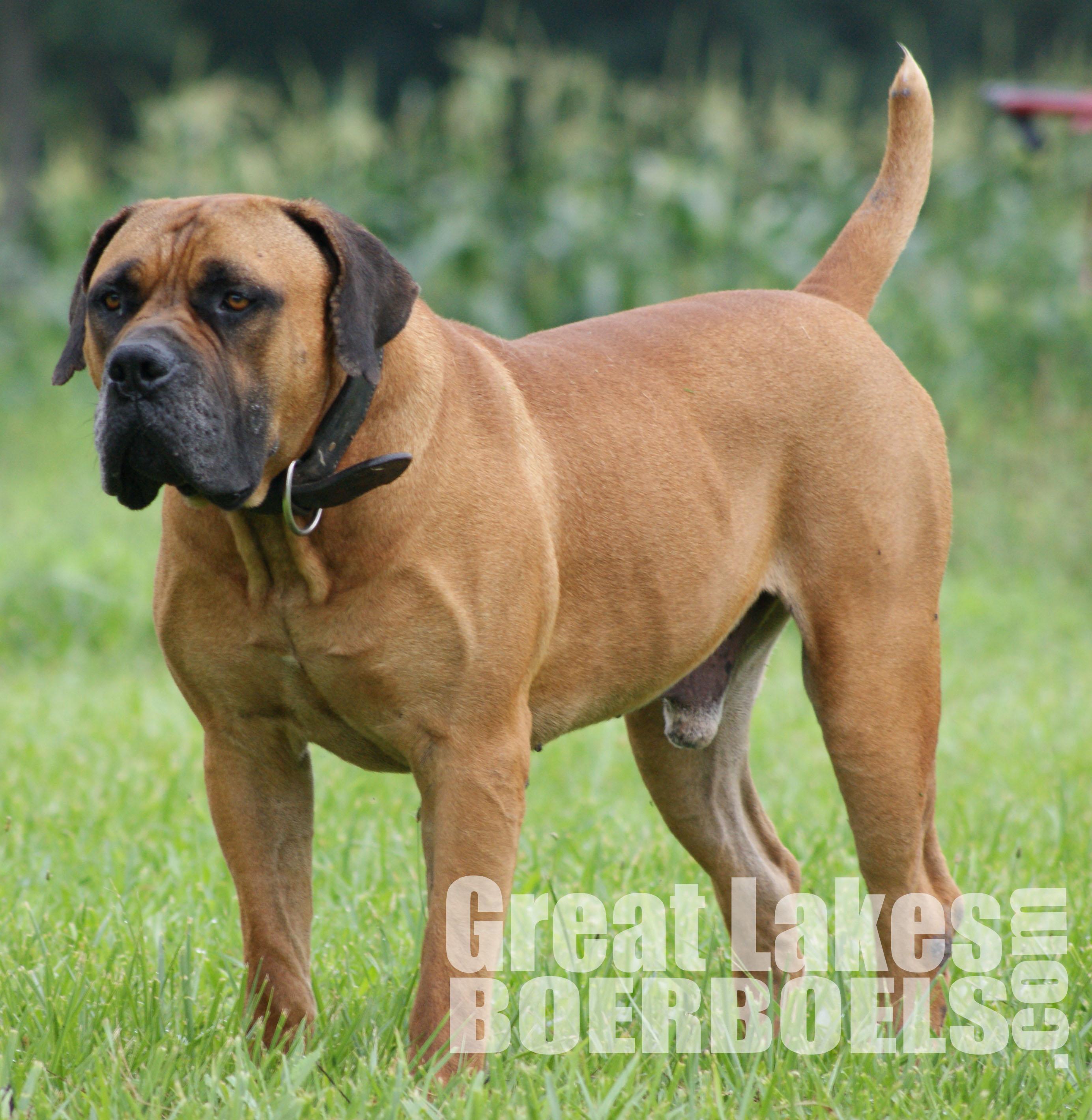 Boerboel Dog: Boerboel Breed