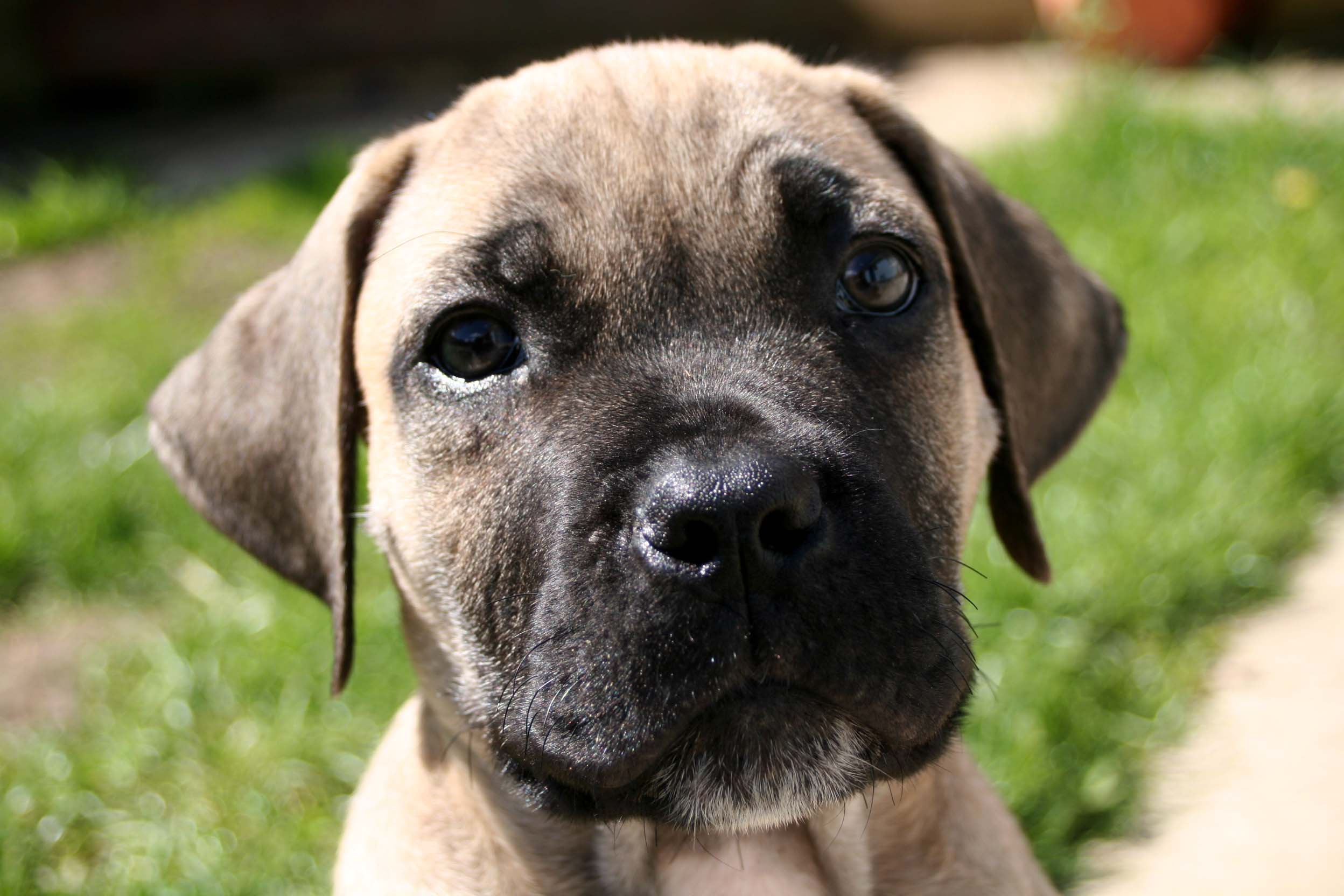 Boerboel Puppies: Boerboel Living With Your Boerboel The First Months Breed