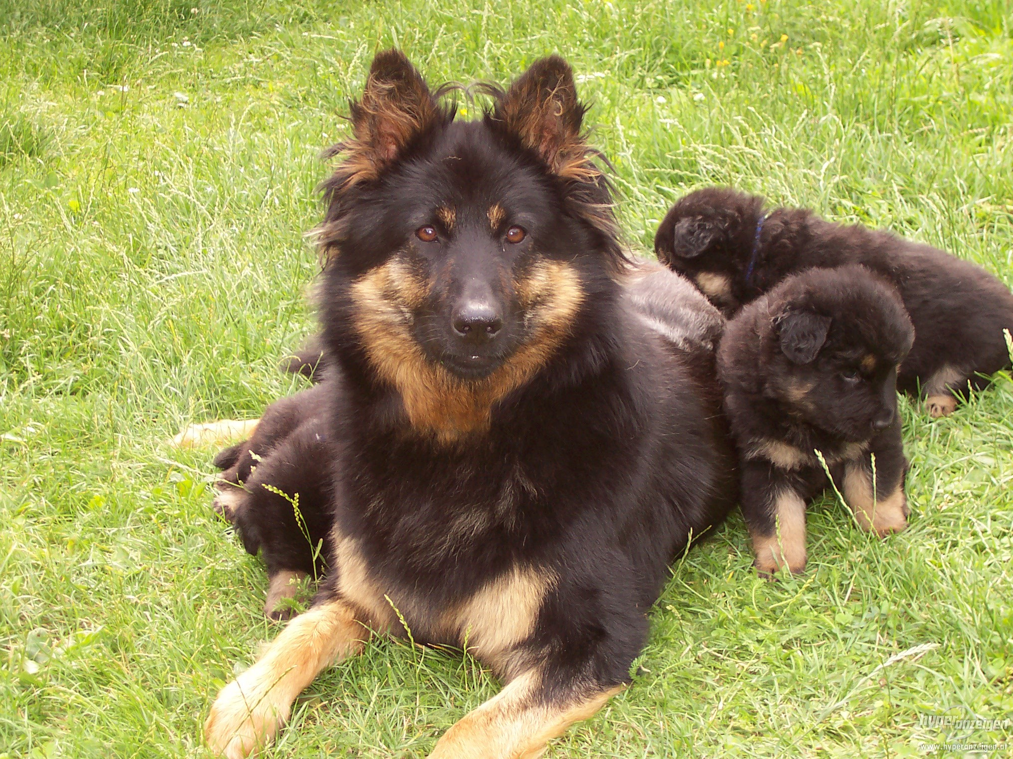 Bohemian Shepherd Puppies: Bohemian Bohemian Dog And Puppies Breed