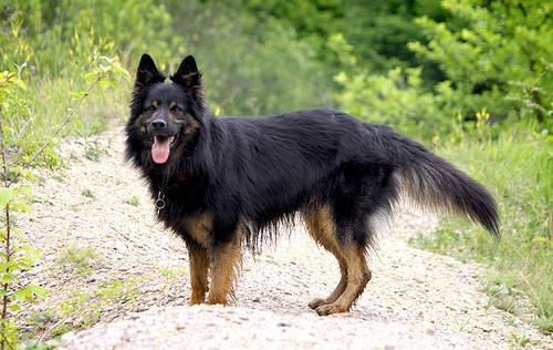 Bohemian Shepherd Puppies: Bohemian Bohemian Shepherd Dce C Ec Bba Ddd Breed