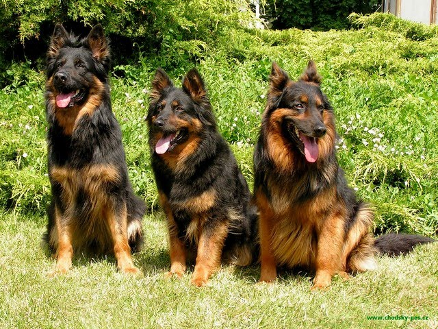 Bohemian Shepherd Puppies: Bohemian Bohemian Shepherd Dog Breed