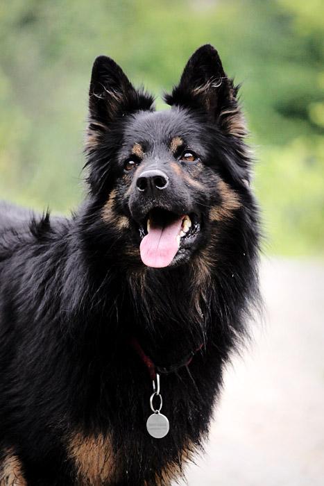 Bohemian Shepherd Dog: Bohemian Chodsky Pes Breed