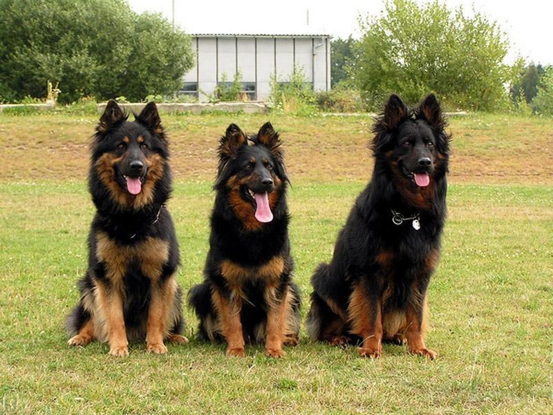 Bohemian Shepherd Dog: Bohemian Czech Kingdom Breed
