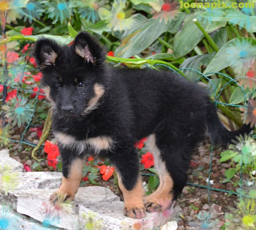 Bohemian Shepherd Puppies: Bohemian Nabidka Stenatek Puppies Breed