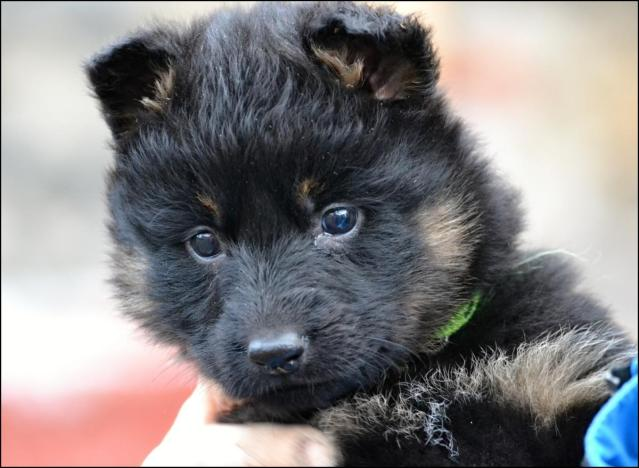 Bohemian Shepherd Puppies: Bohemian Showthread Breed