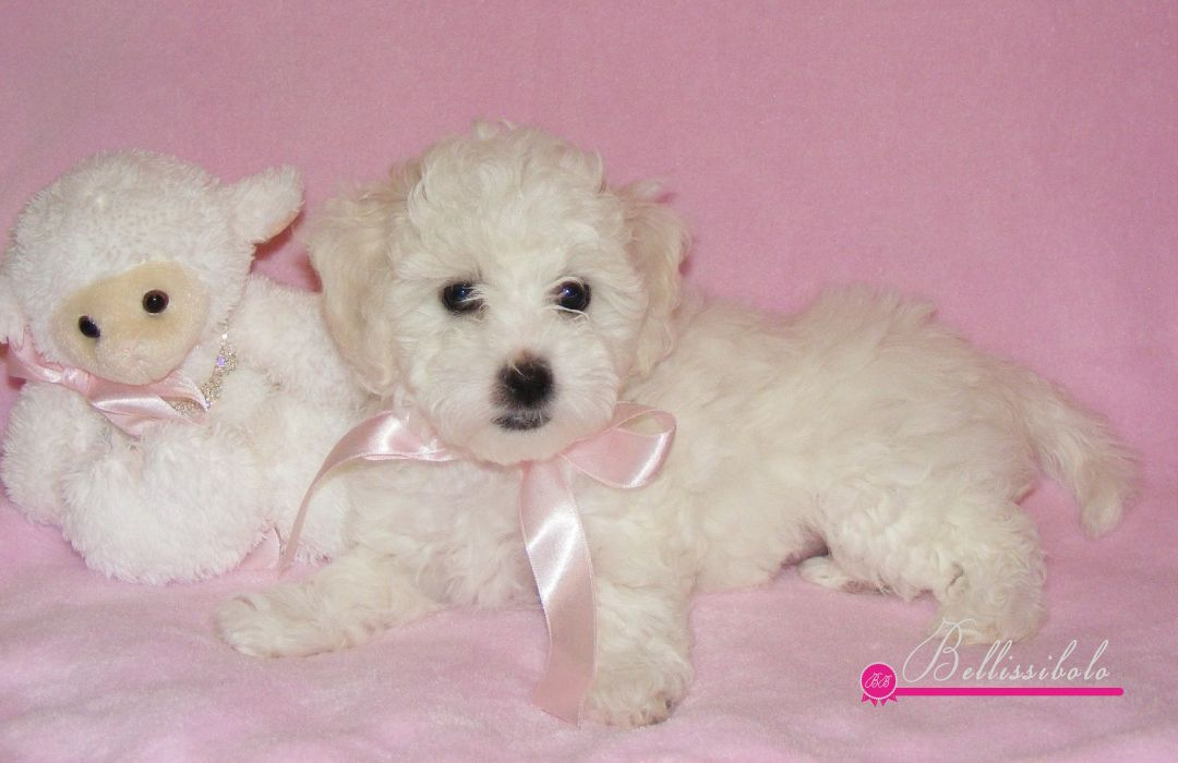 Bolognese Puppies: Bolognese B Litter Breed
