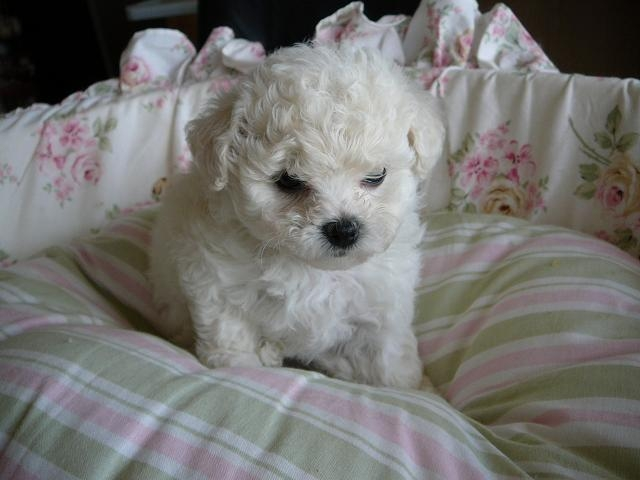 Bolognese Puppies: Bolognese Bolognese Breed
