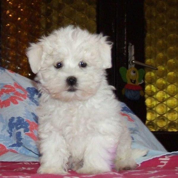 Bolognese Dog For Sale Ireland